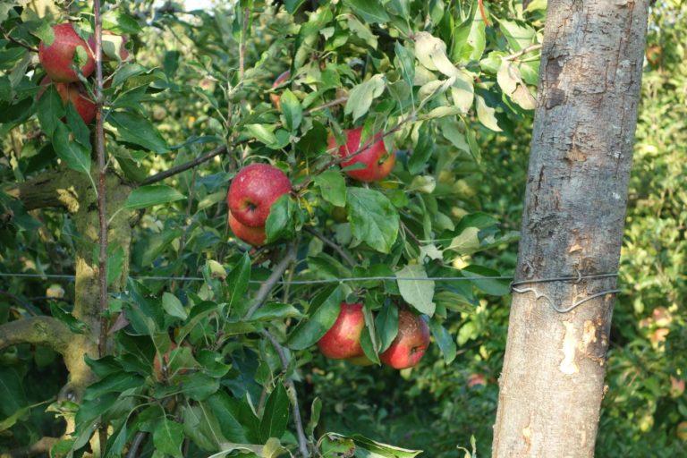 Astuces pour bien planter un pommier en Bretagne
