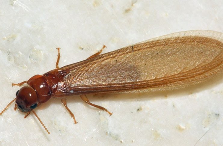 termites diagnostic immobilier